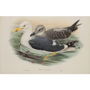 Lesser Black-backed Gull Plate 056 by John Gould – Birds of Great Britain Volume 5, the Natatores. Museum quality giclee print. Facsimile Giclee