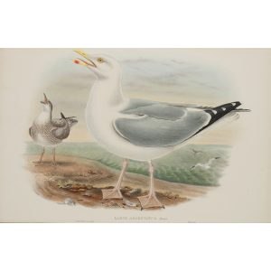 Herring Gull Plate 059 by John Gould – Birds of Great Britain Volume 5, the Natatores. Museum quality giclee print. Facsimile Giclee