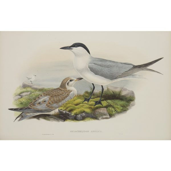 Gull-billed Tern Plate 074 by John Gould – Birds of Great Britain Volume 5, the Natatores. Museum quality giclee print. Facsimile Giclee