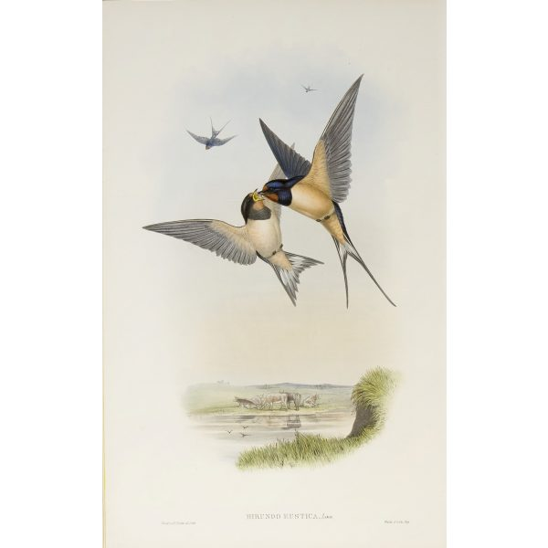 Swallow Plate 005 by John Gould – Birds of Great Britain Volume 2, the Insessores. Museum quality giclee print. Facsimile Giclee