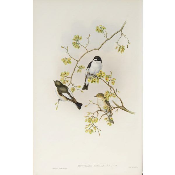 Pied Flycatcher Plate 017 by John Gould – Birds of Great Britain Volume 2, the Insessores. Museum quality giclee print. Facsimile Giclee