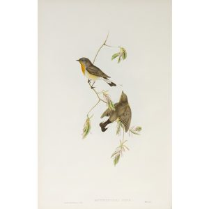 Red-breasted Flycatcher Plate 020 by John Gould – Birds of Great Britain Volume 2, the Insessores. Museum quality giclee print. Facsimile Giclee