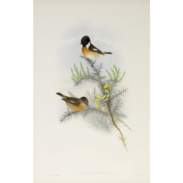 Stone-chat or Furze-chat Plate 047 by John Gould – Birds of Great Britain Volume 2, the Insessores. Museum quality giclee print. Facsimile Giclee
