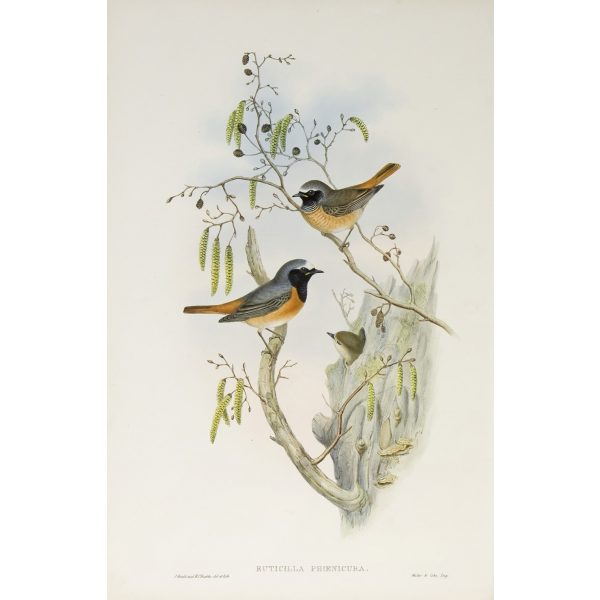 Redstart Plate 051 by John Gould – Birds of Great Britain Volume 2, the Insessores. Museum quality giclee print. Facsimile Giclee