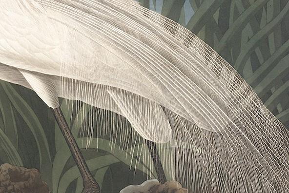 Audubon's White Heron. Detail of Audubon's technical skills using soft pastel. Facsimile Giclee Print. Heritage Prints