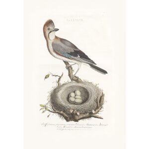 Gaai by Cornelius Nozeman. Nederlandsche Vogelen or Dutch Birds. Museum quality Facsimile giclee print. Certificate of authenticity included. Limited edition.