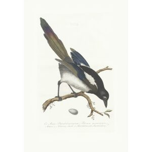 Ekster by Cornelius Nozeman. Nederlandsche Vogelen or Dutch Birds. Museum quality Facsimile giclee print. Certificate of authenticity included. Limited edition.