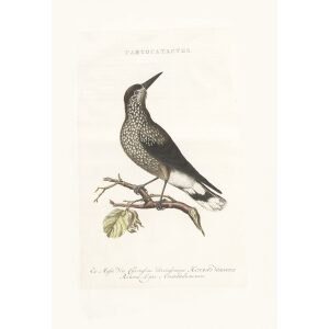 Notenkraker by Cornelius Nozeman. Nederlandsche Vogelen or Dutch Birds. Museum quality Facsimile giclee print. Certificate of authenticity included. Limited edition.