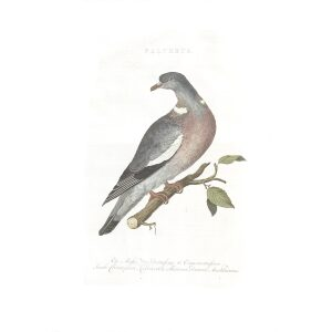Ringduif by Cornelius Nozeman. Nederlandsche Vogelen or Dutch Birds. Museum quality Facsimile giclee print. Certificate of authenticity included. Limited edition.