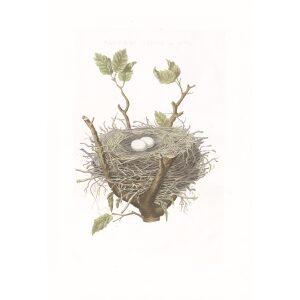 Nest en Ei Ringduif by Cornelius Nozeman. Nederlandsche Vogelen or Dutch Birds. Museum quality Facsimile giclee print. Certificate of authenticity included. Limited edition.