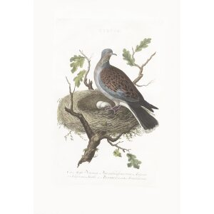 Tortel by Cornelius Nozeman. Nederlandsche Vogelen or Dutch Birds. Museum quality Facsimile giclee print. Certificate of authenticity included. Limited edition.