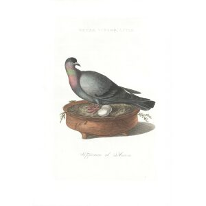 Blauwduif by Cornelius Nozeman. Nederlandsche Vogelen or Dutch Birds. Museum quality Facsimile giclee print. Certificate of authenticity included. Limited edition.