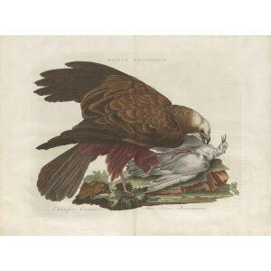 Kiekendief by Cornelius Nozeman. Nederlandsche Vogelen or Dutch Birds. Museum quality Facsimile giclee print. Certificate of authenticity included. Limited edition.