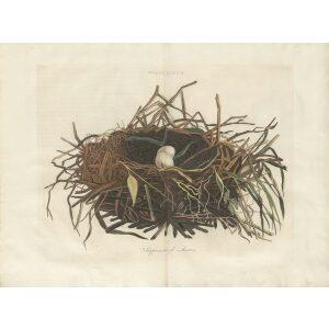 Nest en Ei Kiekendief by Cornelius Nozeman. Nederlandsche Vogelen or Dutch Birds. Museum quality Facsimile giclee print. Certificate of authenticity included. Limited edition.