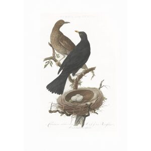 Merel by Cornelius Nozeman. Nederlandsche Vogelen or Dutch Birds. Museum quality Facsimile giclee print. Certificate of authenticity included. Limited edition.