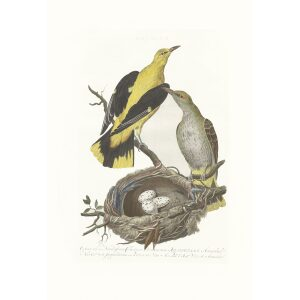 Wielewaal by Cornelius Nozeman. Nederlandsche Vogelen or Dutch Birds. Museum quality Facsimile giclee print. Certificate of authenticity included. Limited edition.