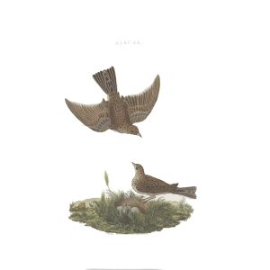 Leeuwerik by Cornelius Nozeman. Nederlandsche Vogelen or Dutch Birds. Museum quality Facsimile giclee print. Certificate of authenticity included. Limited edition.