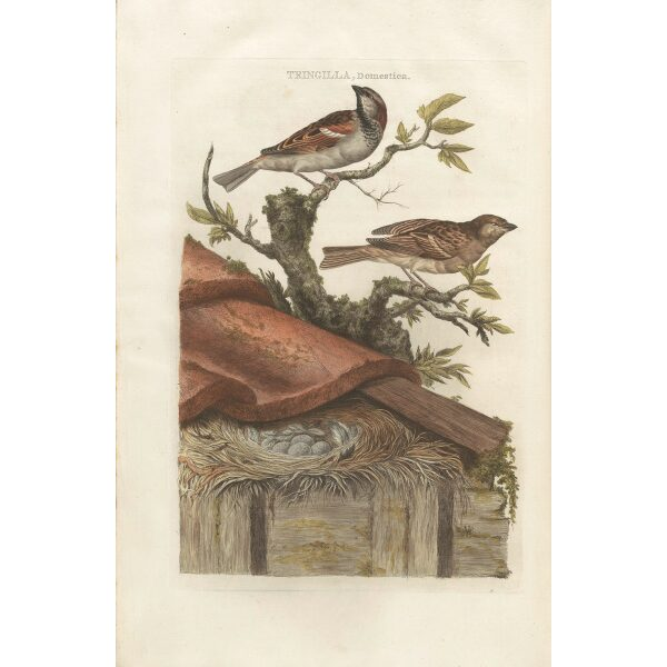 Huismusby Cornelius Nozeman. Nederlandsche Vogelen or Dutch Birds. Museum quality Facsimile giclee print. Certificate of authenticity included. Limited edition.