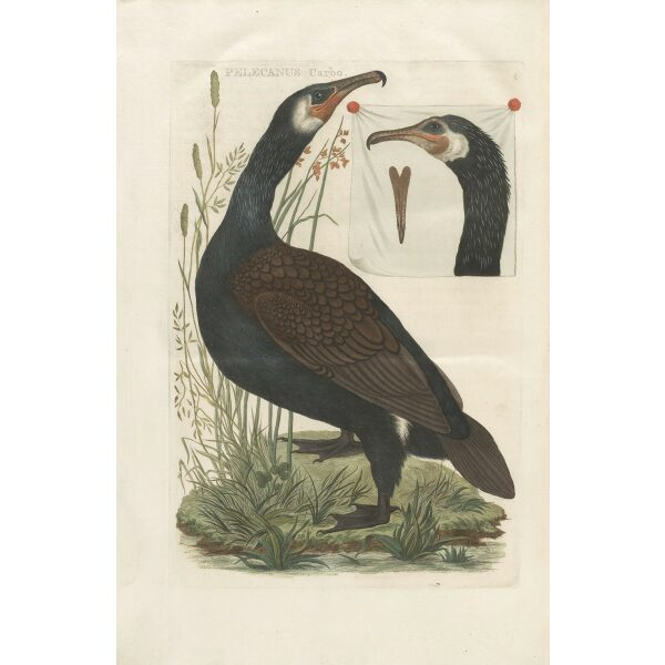 Scholverby Cornelius Nozeman. Nederlandsche Vogelen or Dutch Birds. Museum quality Facsimile giclee print. Certificate of authenticity included. Limited edition.