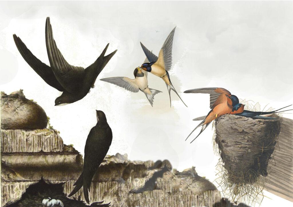 Compilatie Zwaluw Swallow Audubon Gould Nozeman Vogelpracht Teylers Heritage Prints
