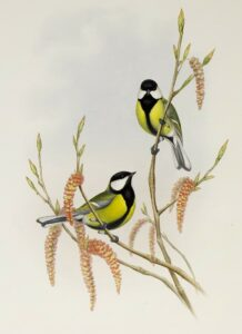 Great Tit Plate 023 by John Gould – Birds of Great Britain Volume 2, the Insessores. Museum quality giclee print. Facsimile Giclee