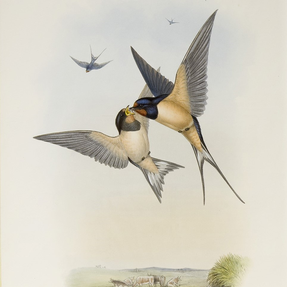 Gould Birds of Great Britain Swallow Vogelpracht Teylers Heritage Prints
