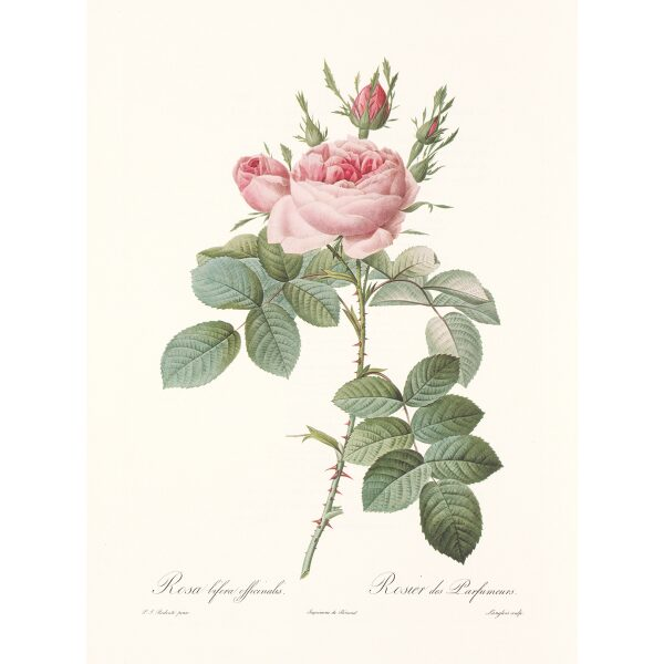 Rosa Bifera Officinalis by Pierre Joseph Redouté. Les Roses. Heritage Prints. Facsimile Giclee Print taken from the original edition. Certificate of authenticity included.