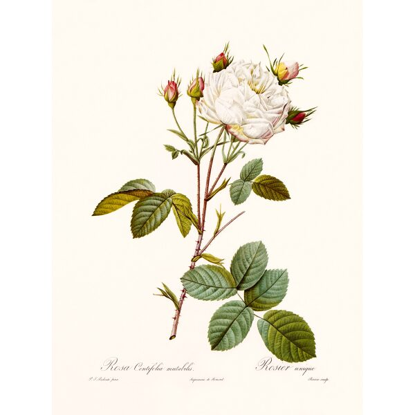 Rosa Centifolia Mutablis by Pierre Joseph Redouté. Les Roses. Heritage Prints. Facsimile Giclee Print taken from the original edition. Certificate of authenticity included.