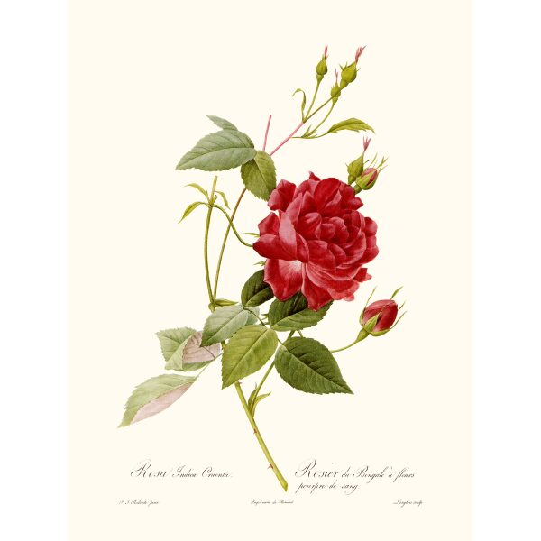 Rosa Indica Cruenta by Pierre Joseph Redouté. Les Roses. Heritage Prints. Facsimile Giclee Print taken from the original edition. Certificate of authenticity included.