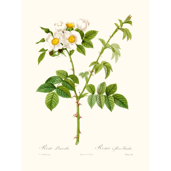 Rosa Leucantha by Pierre Joseph Redouté. Les Roses. Heritage Prints. Facsimile Giclee Print taken from the original edition. Certificate of authenticity included.