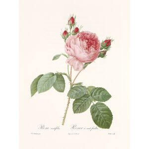 Rosa Centifolia by Pierre Joseph Redouté. Les Roses. Heritage Prints. Facsimile Giclee Print taken from the original edition. Certificate of authenticity included.