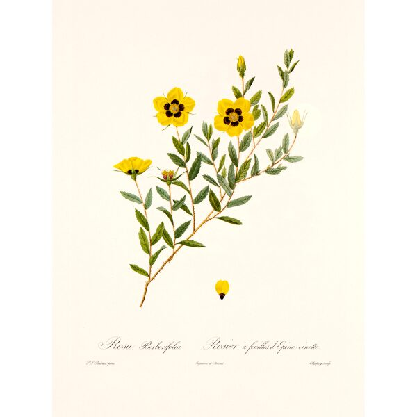 Rosa Berberifolia by Pierre Joseph Redouté. Les Roses. Heritage Prints. Facsimile Giclee Print taken from the original edition. Certificate of authenticity included.