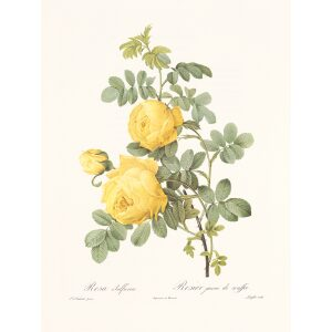 Rosa Sulfurea by Pierre Joseph Redouté. Les Roses. Heritage Prints. Facsimile Giclee Print taken from the original edition. Certificate of authenticity included.