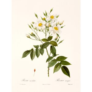 Rosa Moschata by Pierre Joseph Redouté. Les Roses. Heritage Prints. Facsimile Giclee Print taken from the original edition. Certificate of authenticity included.