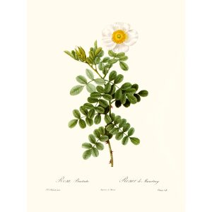 Rosa Bracteate by Pierre Joseph Redouté. Les Roses. Heritage Prints. Facsimile Giclee Print taken from the original edition. Certificate of authenticity included.