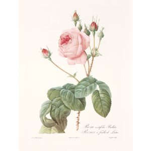Rosa centifolia Bullata by Pierre Joseph Redouté. Les Roses. Heritage Prints. Facsimile Giclee Print taken from the original edition. Certificate of authenticity included.