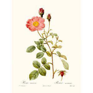 Rosa Muscosa Simplex by Pierre Joseph Redouté. Les Roses. Heritage Prints. Facsimile Giclee Print taken from the original edition. Certificate of authenticity included.