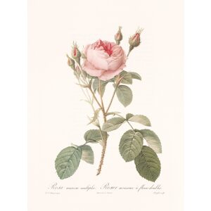 Rosa Muscosa Multiplex by Pierre Joseph Redouté. Les Roses. Heritage Prints. Facsimile Giclee Print taken from the original edition. Certificate of authenticity included.