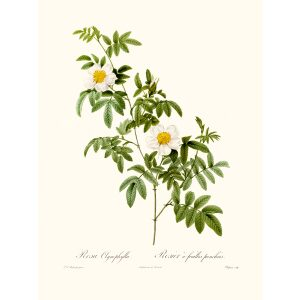 Rosa Clynophylia by Pierre Joseph Redouté. Les Roses. Heritage Prints. Facsimile Giclee Print taken from the original edition. Certificate of authenticity included.