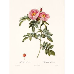Rosa Lucida by Pierre Joseph Redouté. Les Roses. Heritage Prints. Facsimile Giclee Print taken from the original edition. Certificate of authenticity included.