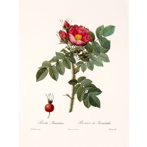 Rosa Kamtchatica by Pierre Joseph Redouté. Les Roses. Heritage Prints. Facsimile Giclee Print taken from the original edition. Certificate of authenticity included.