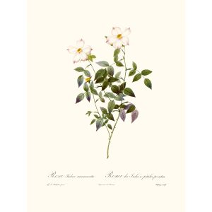 Rosa Indica Pierre Joseph Redouté. Les Roses. Heritage Prints. Facsimile Giclee Print taken from the original edition. Certificate of authenticity included.