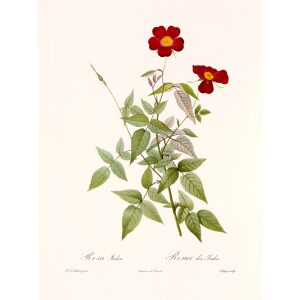 Rosa Indica Acuminata by by Pierre Joseph Redouté. Les Roses. Heritage Prints. Facsimile Giclee Print taken from the original edition. Certificate of authenticity included.