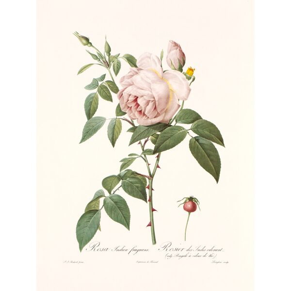 Rosa Indica Fragrans by Pierre Joseph Redouté. Les Roses. Heritage Prints. Facsimile Giclee Print taken from the original edition. Certificate of authenticity included.