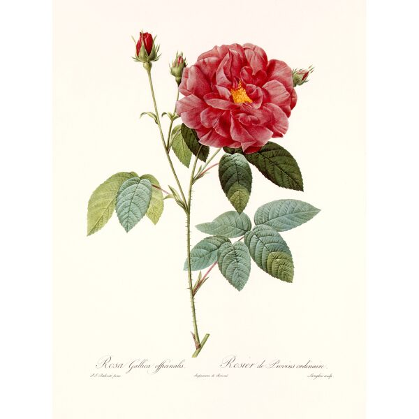 Rosa Gallica Officinalis by Pierre Joseph Redouté. Les Roses. Heritage Prints. Facsimile Giclee Print taken from the original edition. Certificate of authenticity included.