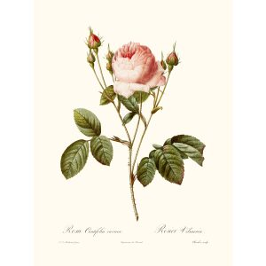 Rosa Centifiola by Pierre Joseph Redouté. Les Roses. Heritage Prints. Facsimile Giclee Print taken from the original edition. Certificate of authenticity included.