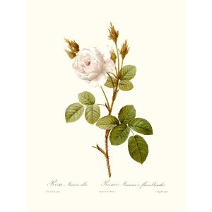 Rosa Muscosa Alba by Pierre Joseph Redouté. Les Roses. Heritage Prints. Facsimile Giclee Print taken from the original edition. Certificate of authenticity included.