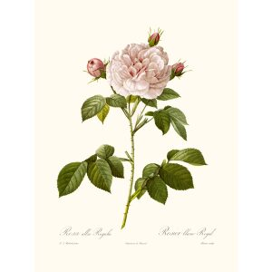 Rosa alba Regalis by Pierre Joseph Redouté. Les Roses. Heritage Prints. Facsimile Giclee Print taken from the original edition. Certificate of authenticity included.