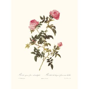 Rosa Sepium Flora Submultiplici by Pierre Joseph Redouté. Les Roses. Heritage Prints. Facsimile Giclee Print taken from the original edition. Certificate of authenticity included.
