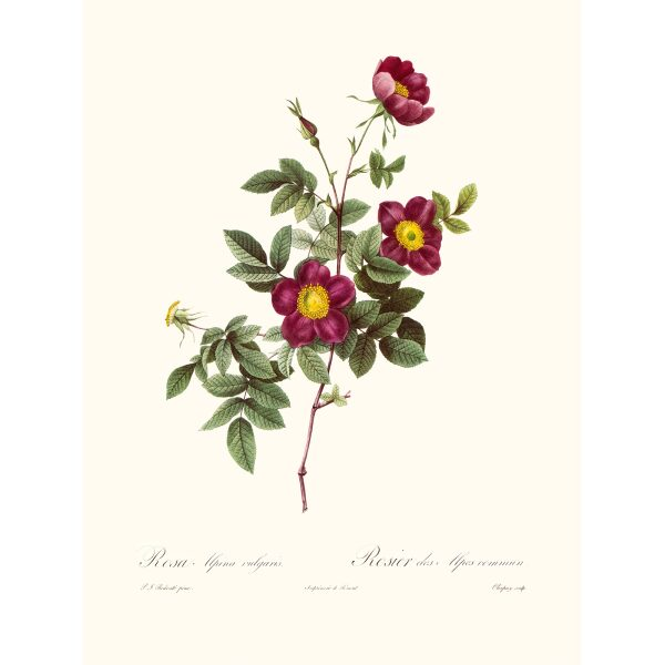 Rosa Alpina Vulgaris by Pierre Joseph Redouté. Les Roses. Heritage Prints. Facsimile Giclee Print taken from the original edition. Certificate of authenticity included.